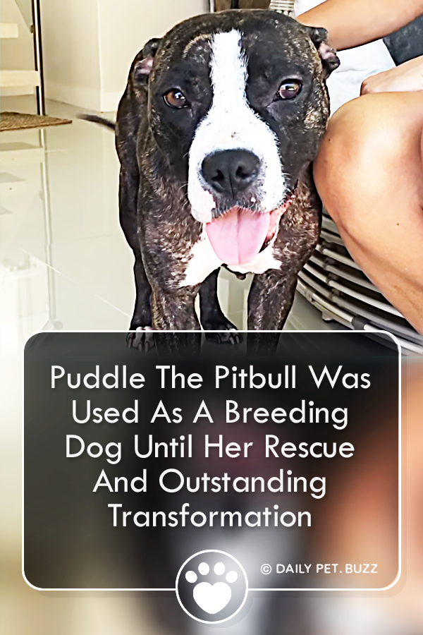 Puddle The Pitbull Was Used As A Breeding Dog Until Her Rescue And Outstanding Transformation