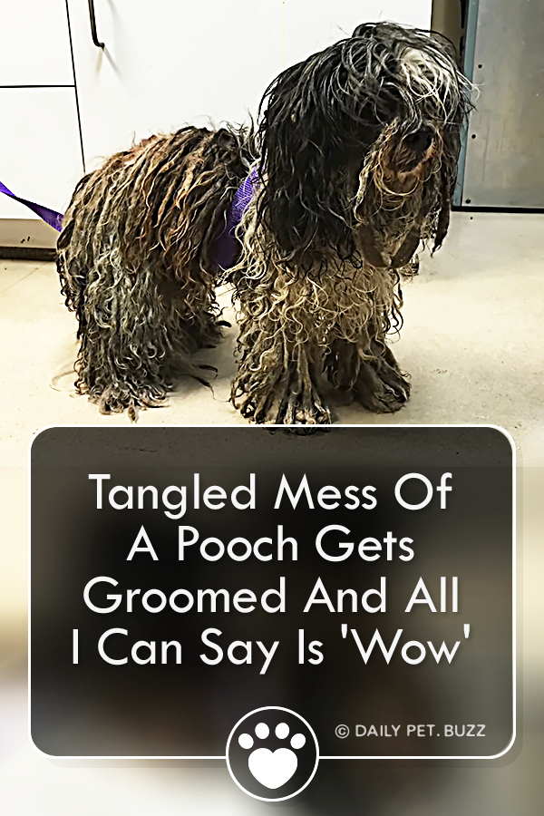 Tangled Mess Of A Pooch Gets Groomed And All I Can Say Is \'Wow\'