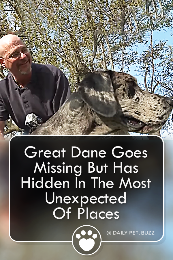 Great Dane Goes Missing But Has Hidden In The Most Unexpected Of Places