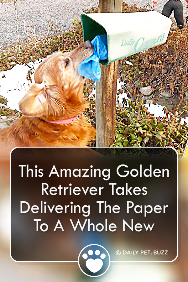 This Amazing Golden Retriever Takes Delivering The Paper To A Whole New Level