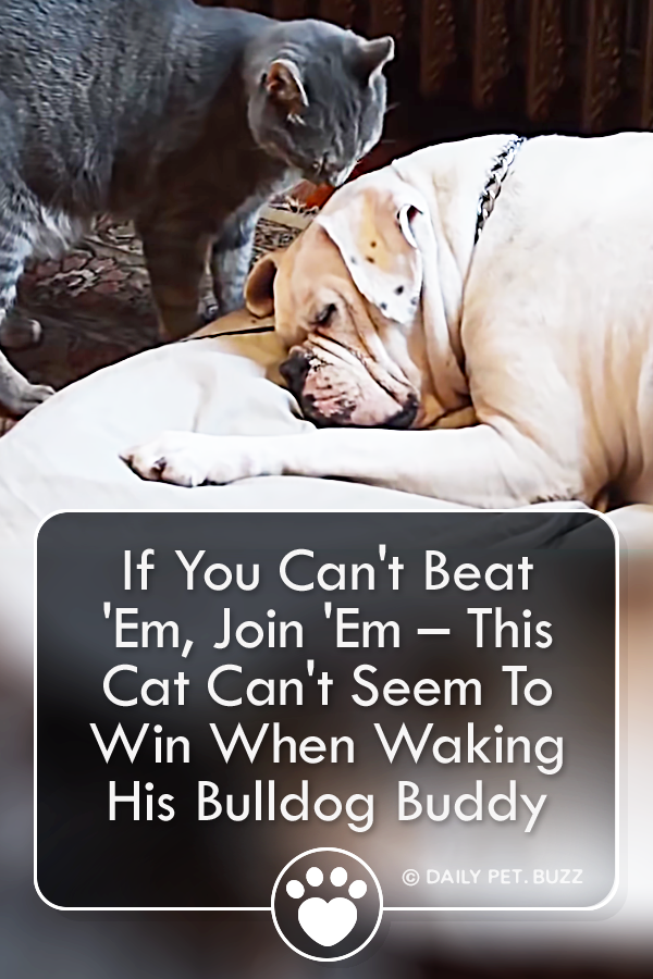 If You Can\'t Beat \'Em, Join \'Em – This Cat Can\'t Seem To Win When Waking His Bulldog Buddy