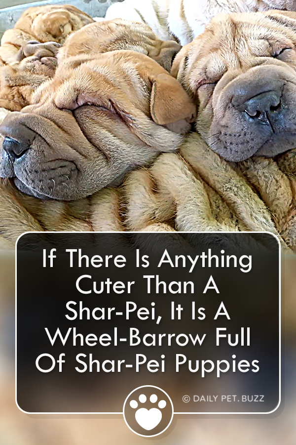If There Is Anything Cuter Than A Shar-Pei, It Is A Wheel-Barrow Full Of Shar-Pei Puppies