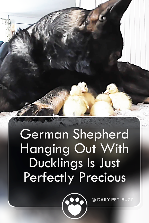 German Shepherd Hanging Out With Ducklings Is Just Perfectly Precious