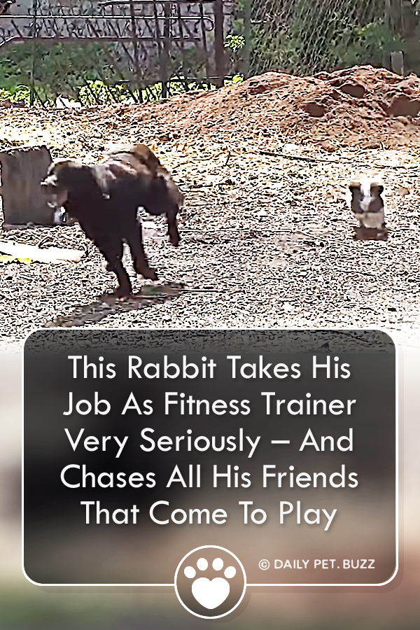 This Rabbit Takes His Job As Fitness Trainer Very Seriously – And Chases All His Friends That Come To Play