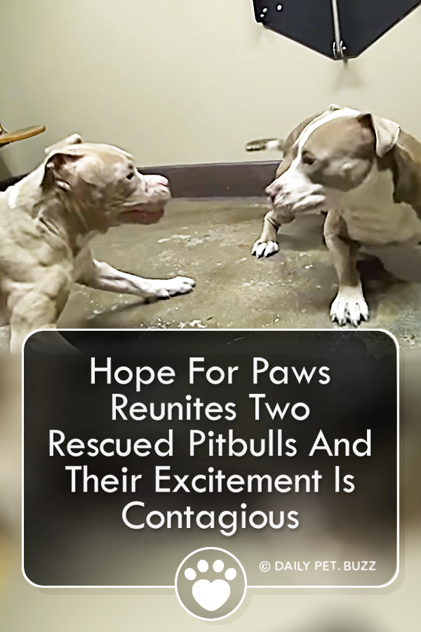 Hope For Paws Reunites Two Rescued Pitbulls And Their Excitement Is Contagious