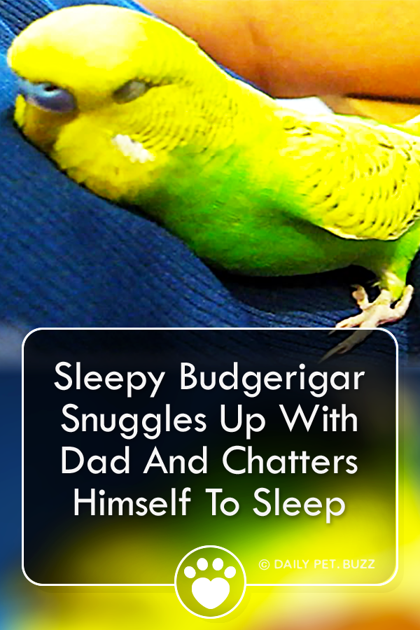 Sleepy Budgerigar Snuggles Up With Dad And Chatters Himself To Sleep