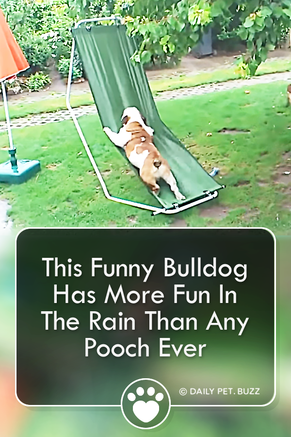 This Funny Bulldog Has More Fun In The Rain Than Any Pooch Ever