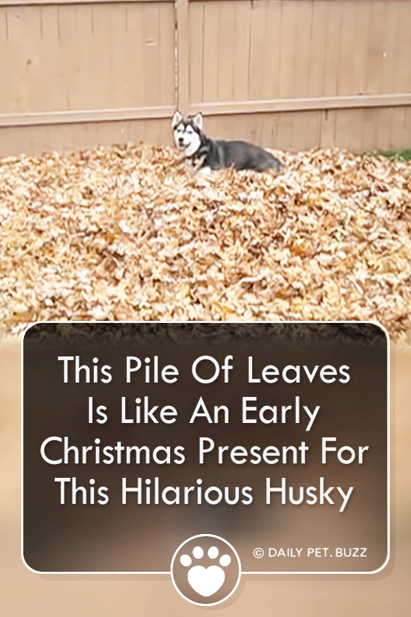 This Pile Of Leaves Is Like An Early Christmas Present For This Hilarious Husky