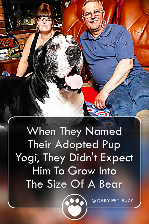 When They Named Their Adopted Pup Yogi, They Didn\'t Expect Him To Grow Into The Size Of A Bear