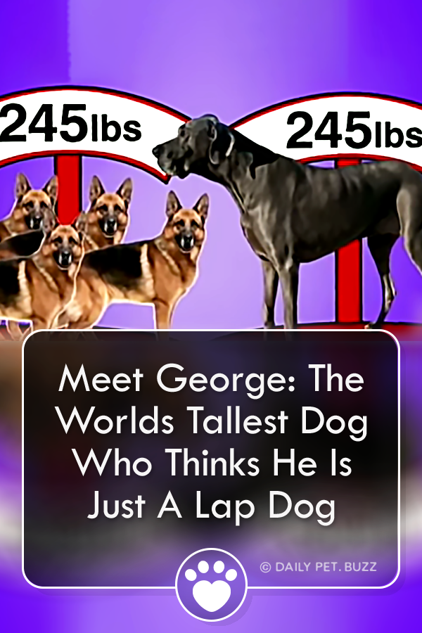Meet George: The Worlds Tallest Dog Who Thinks He Is Just A Lap Dog