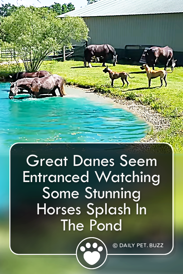 Great Danes Seem Entranced Watching Some Stunning Horses Splash In The Pond
