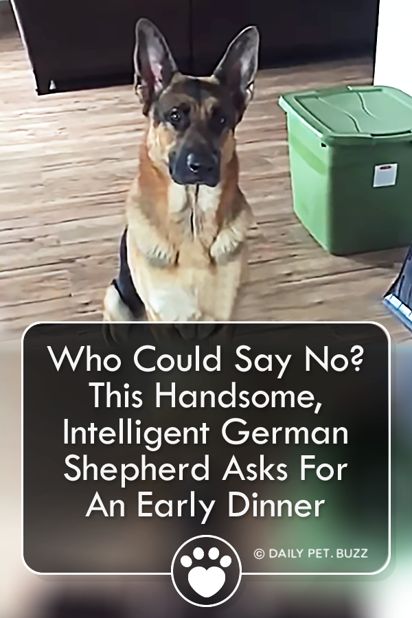 Who Could Say No? This Handsome, Intelligent German Shepherd Asks For An Early Dinner