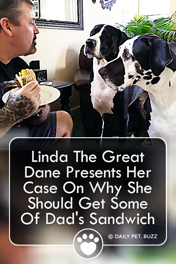 Linda The Great Dane Presents Her Case On Why She Should Get Some Of Dad\'s Sandwich