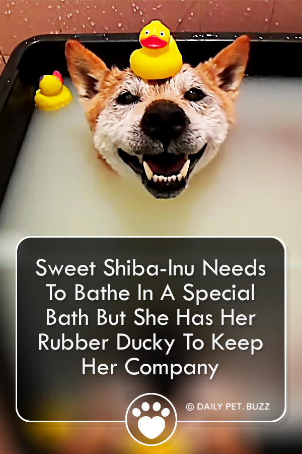 Sweet Shiba-Inu Needs To Bathe In A Special Bath But She Has Her Rubber Ducky To Keep Her Company