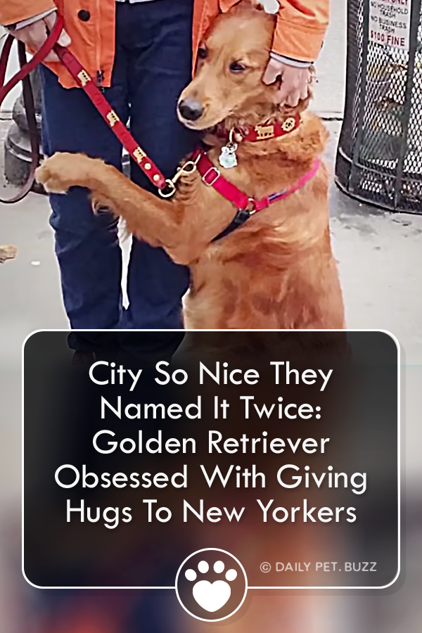City So Nice They Named It Twice: Golden Retriever Obsessed With Giving Hugs To New Yorkers