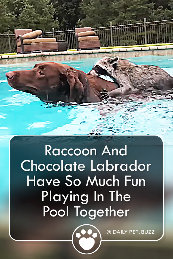 Raccoon And Chocolate Labrador Have So Much Fun Playing In The Pool Together