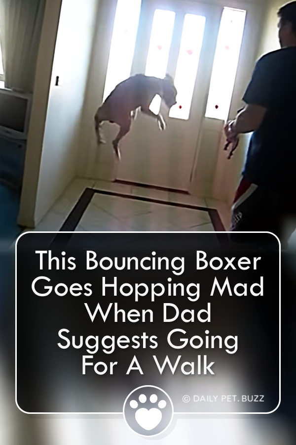 This Bouncing Boxer Goes Hopping Mad When Dad Suggests Going For A Walk
