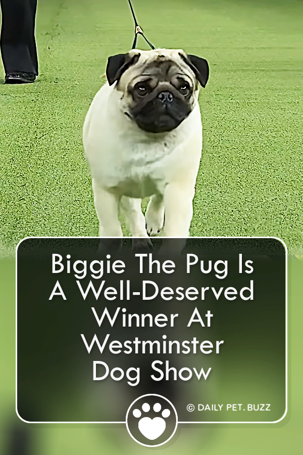 Biggie The Pug Is A Well-Deserved Winner At Westminster Dog Show
