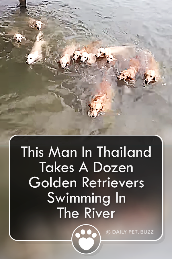 This Man In Thailand Takes A Dozen Golden Retrievers Swimming In The River
