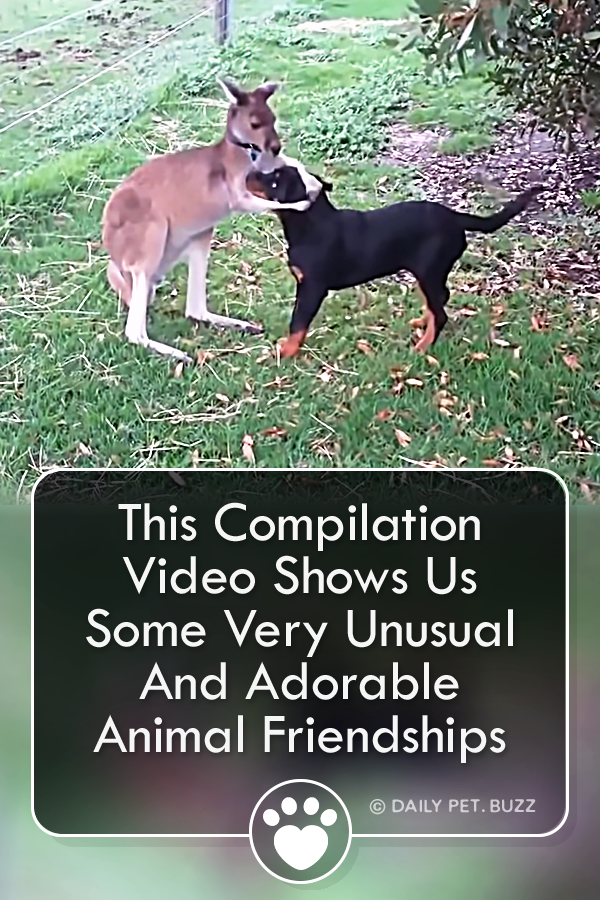 This Compilation Video Shows Us Some Very Unusual And Adorable Animal Friendships