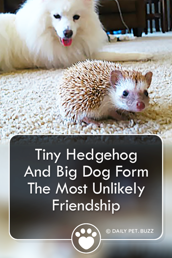 Tiny Hedgehog And Big Dog Form The Most Unlikely Friendship