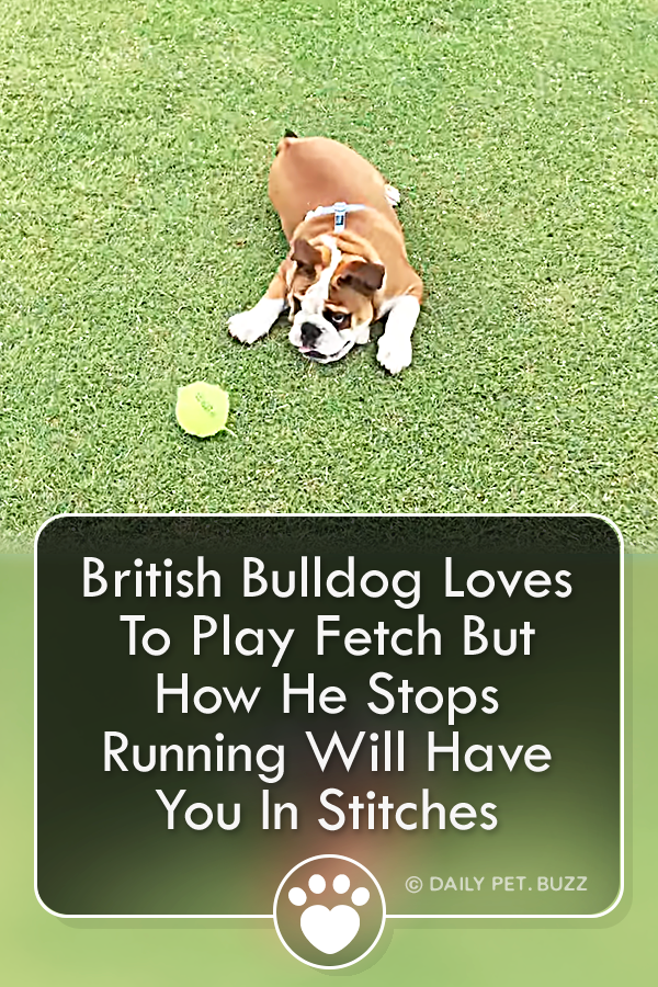British Bulldog Loves To Play Fetch But How He Stops Running Will Have You In Stitches