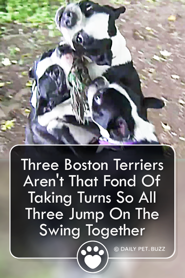 Three Boston Terriers Aren\'t That Fond Of Taking Turns So All Three Jump On The Swing Together