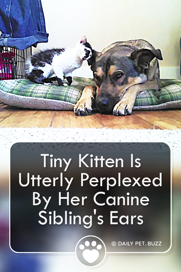 Tiny Kitten Is Utterly Perplexed By Her Canine Sibling\'s Ears