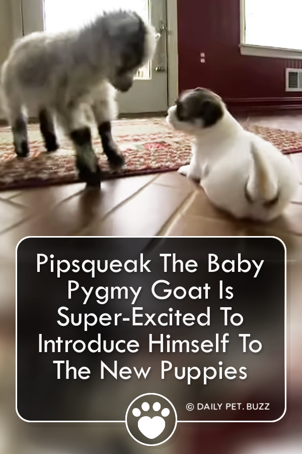 Pipsqueak The Baby Pygmy Goat Is Super-Excited To Introduce Himself To The New Puppies
