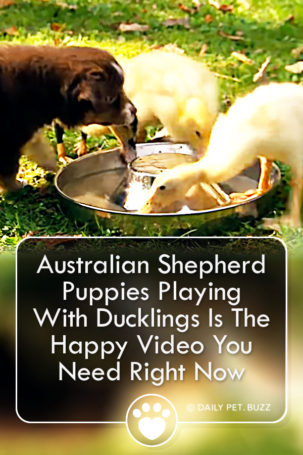 Australian Shepherd Puppies Playing With Ducklings Is The Happy Video You Need Right Now