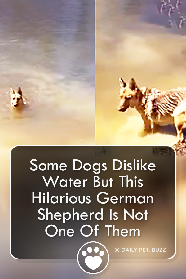 Some Dogs Dislike Water But This Hilarious German Shepherd Is Not One Of Them