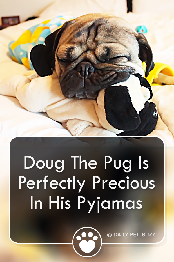 Doug The Pug Is Perfectly Precious In His Pyjamas