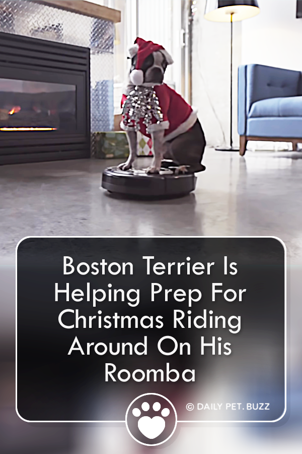 Boston Terrier Is Helping Prep For Christmas Riding Around On His Roomba