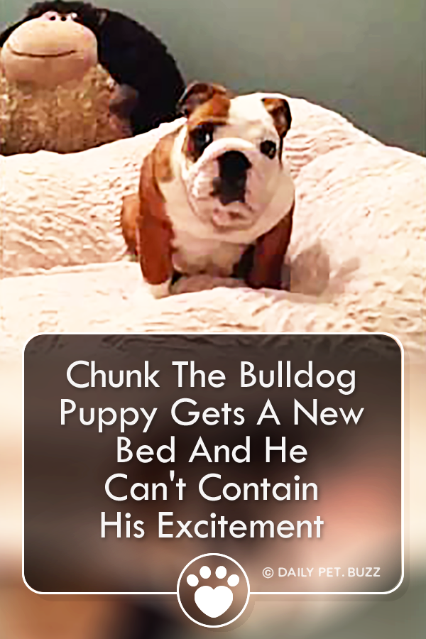 Chunk The Bulldog Puppy Gets A New Bed And He Can\'t Contain His Excitement