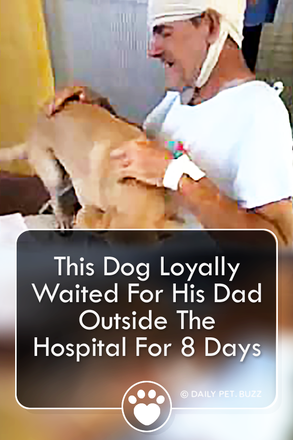 This Dog Loyally Waited For His Dad Outside The Hospital For 8 Days