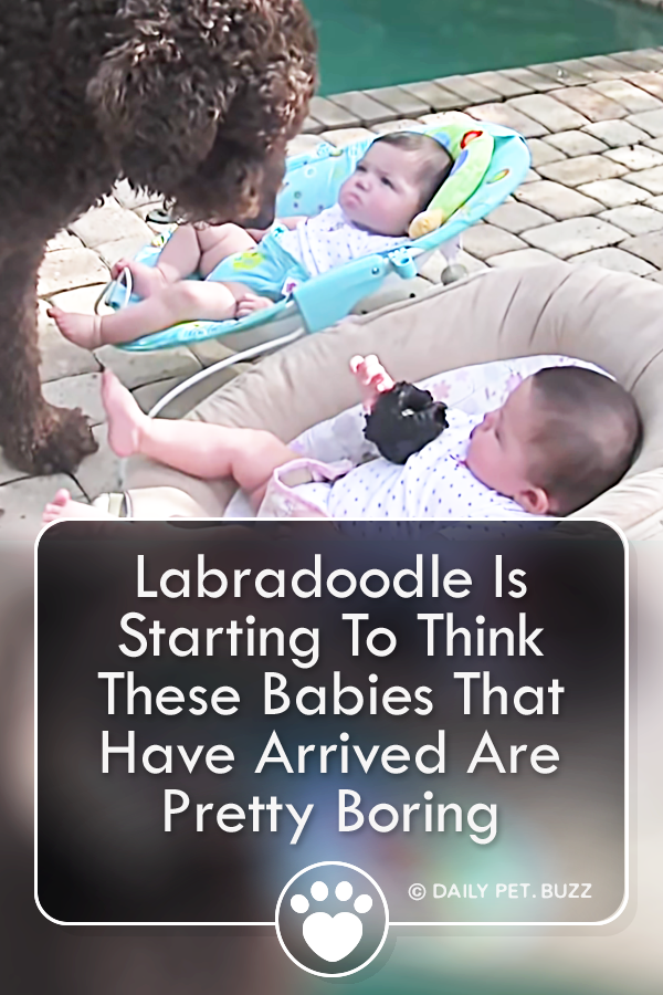 Labradoodle Is Starting To Think These Babies That Have Arrived Are Pretty Boring