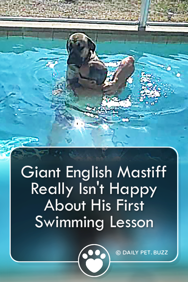 Giant English Mastiff Really Isn\'t Happy About His First Swimming Lesson