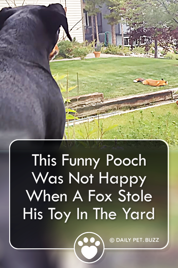 This Funny Pooch Was Not Happy When A Fox Stole His Toy In The Yard
