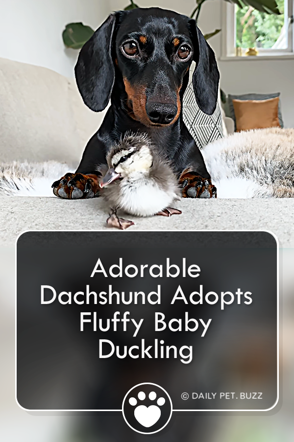 Adorable Dachshund Adopts Fluffy Baby Duckling