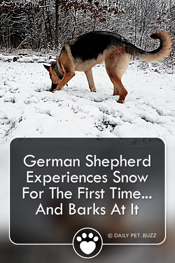 German Shepherd Experiences Snow For The First Time... And Barks At It