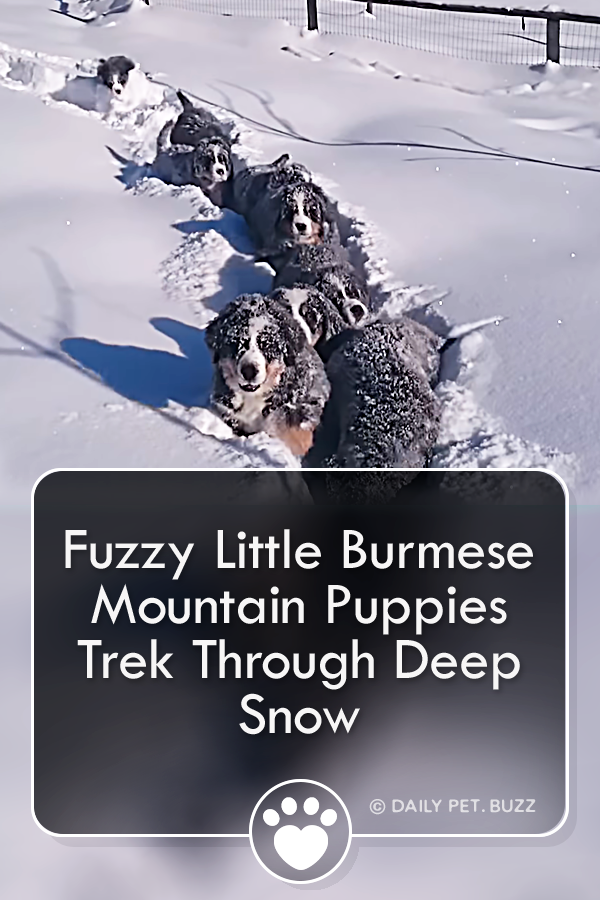 Fuzzy Little Burmese Mountain Puppies Trek Through Deep Snow