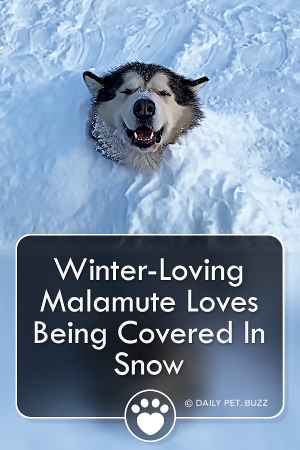 Smiling Malamute Loves Being Covered In Snow