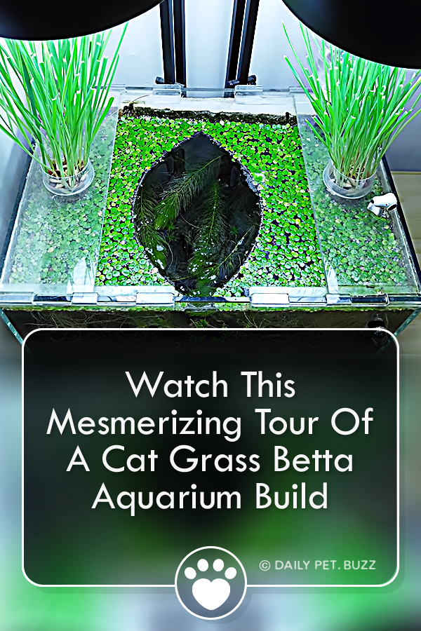 Watch This Mesmerizing Tour Of A Cat Grass Betta Aquarium Build