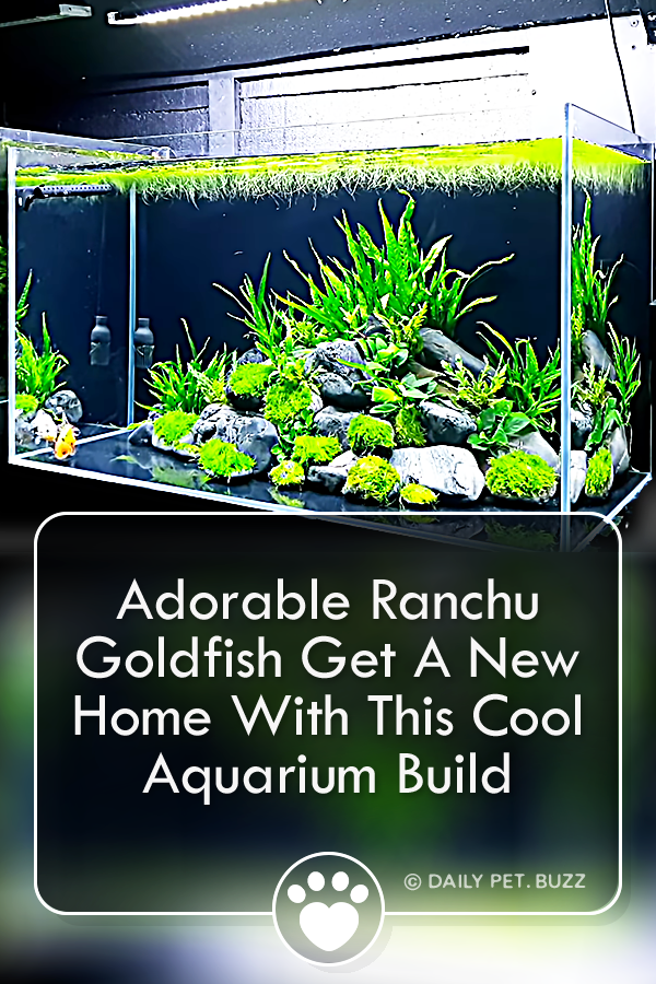 Adorable Ranchu Goldfish Get A New Home With This Cool Aquarium Build