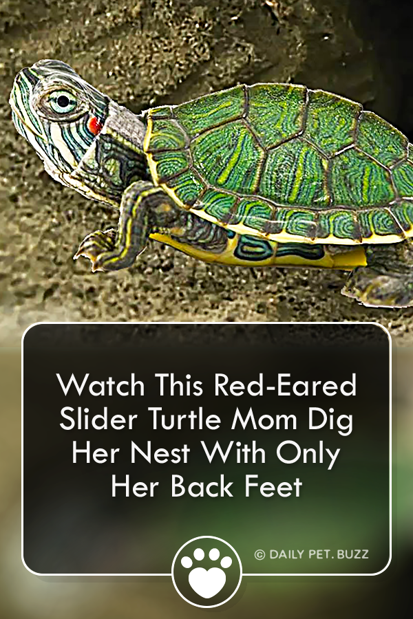 Watch This Red-Eared Slider Turtle Mom Dig Her Nest With Only Her Back Feet