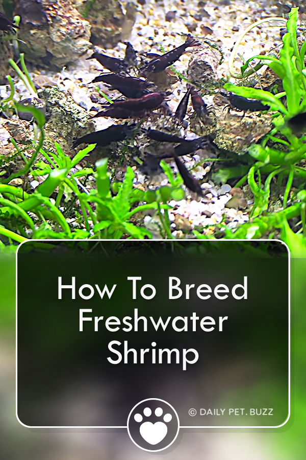 How To Breed Freshwater Shrimp
