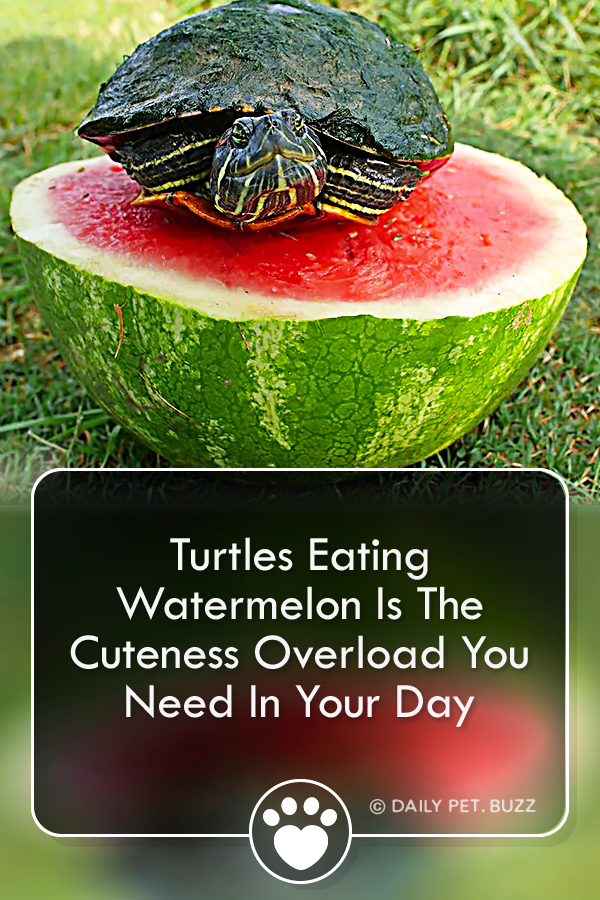 Turtles Eating Watermelon Is The Cuteness Overload You Need In Your Day