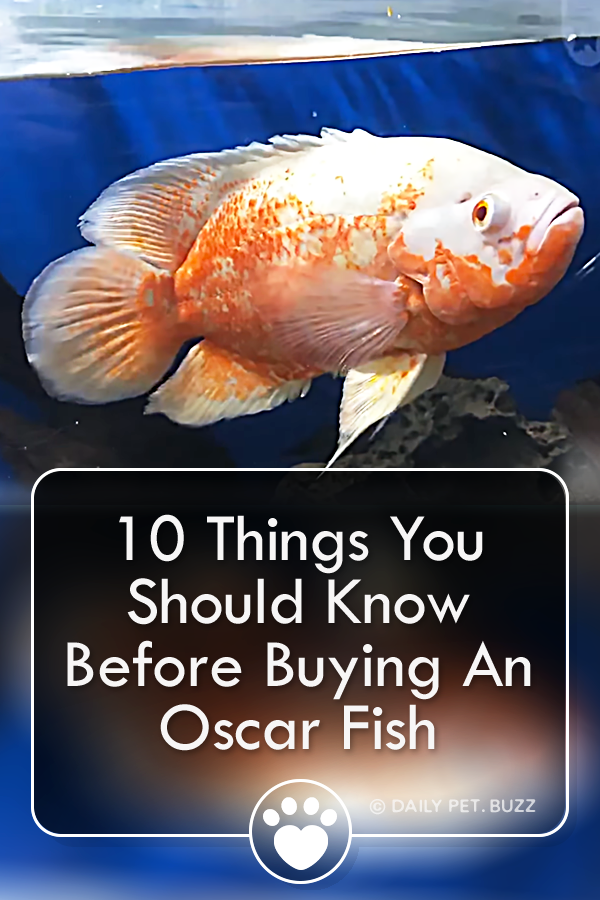 10 Things You Should Know Before Buying An Oscar Fish
