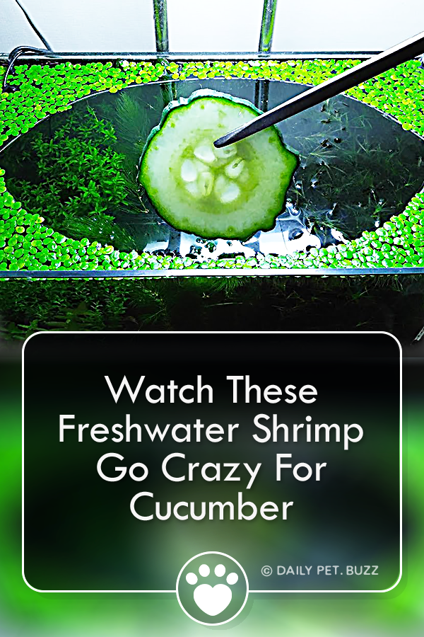 Watch These Freshwater Shrimp Go Crazy For Cucumber