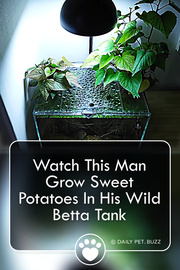 Watch This Man Grow Sweet Potatoes In His Wild Betta Tank